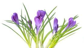 Blommar violett krokus som isoleras på viten Royaltyfri Fotografi