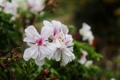Blommar vit Arkivbilder