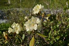 Blommar vit rhododendron för tre berg i förgrunden arkivbild