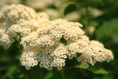 blommar vit yellow Fotografering för Bildbyråer