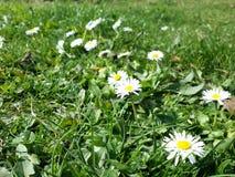blommar vit yellow Arkivbild