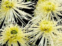 blommar vit yellow Royaltyfri Bild