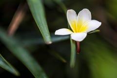 blommar vit yellow för frangipanien Fotografering för Bildbyråer
