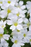 blommar vita lott royaltyfria foton
