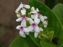 blommar vitt wild royaltyfri foto