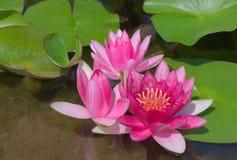 blommar waterlilia Royaltyfri Foto