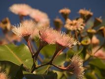 blommar wattlen Arkivbilder