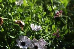 blommar white Royaltyfri Foto