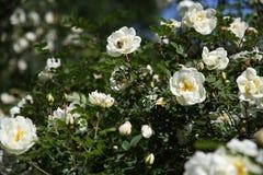 blommar white fotografering för bildbyråer