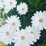 blommar white Royaltyfri Fotografi