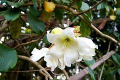blommar white Royaltyfria Bilder