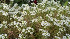 blommar white Arkivfoto