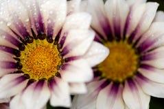 blommar white för purple två Arkivbilder