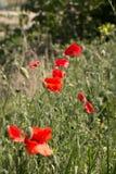 blommar wild vallmor Arkivfoton