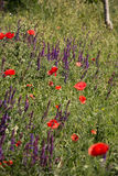 blommar wild vallmor Royaltyfri Fotografi