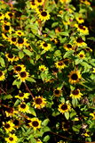 blommar wild yellow Royaltyfria Bilder