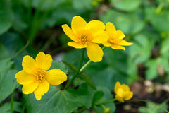blommar wild yellow Royaltyfri Bild
