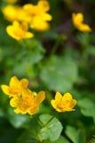 blommar wild yellow Arkivfoton