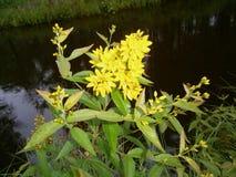blommar wild yellow arkivbild