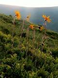blommar yelow Royaltyfri Fotografi
