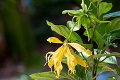 blommar ylang Fotografering för Bildbyråer