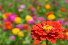 blommar zinnia Royaltyfri Foto