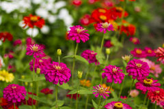 blommar zinnia Royaltyfria Foton
