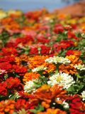 blommar zinnias Arkivfoton