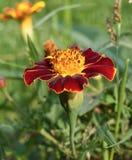 blommared Royaltyfria Foton
