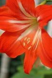 blommared arkivfoton