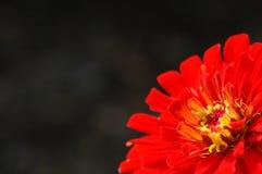 blommared Arkivbilder