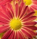 blommared Arkivbild