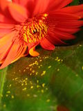 blommared Royaltyfri Foto