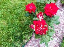 blommared steg Fotografering för Bildbyråer