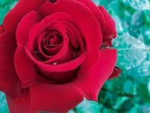 blommared steg Royaltyfri Bild