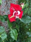 blommared steg Royaltyfri Fotografi