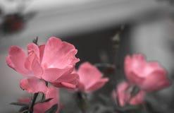 blommared steg Arkivbilder