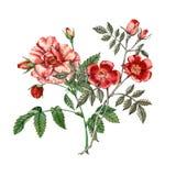blommared steg Botanisk illustration vattenfärg Royaltyfri Fotografi