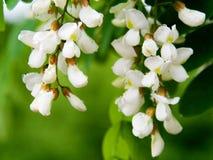 blommaregnwhite Arkivbild