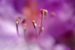 blommarhododendron Royaltyfri Bild