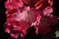 Blommarhododendron Arkivfoto