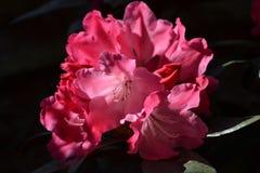 Blommarhododendronslut upp Arkivfoto