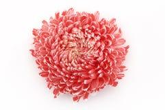blommaringblomma royaltyfri foto