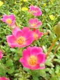 Blommarosa färger Arkivfoto