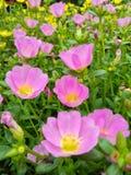 Blommarosa färger Royaltyfri Bild