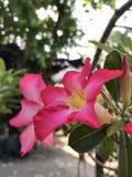 Blommarosa färger Royaltyfri Foto