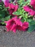 Blommarosa färger Royaltyfria Foton