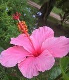 Blommarosa färger Arkivbild
