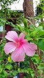 Blommarosa färger Arkivfoton