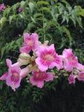 Blommarosa färgerna Arkivfoton